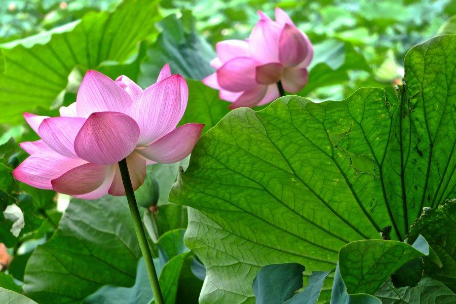 요코하마의 연꽃들