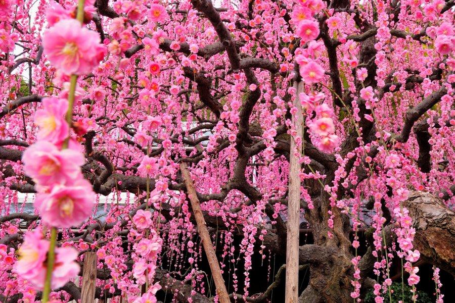 활짝 핀 일본 매화 꽃