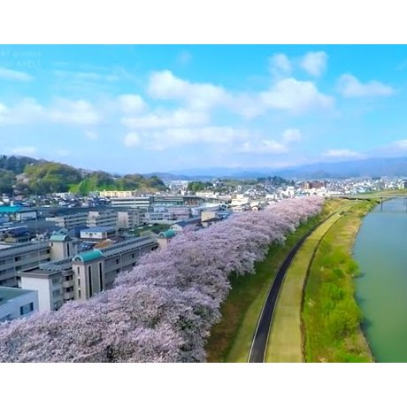Sakura on the Banks of Asuwa River