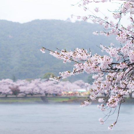 킨타이쿄 벚꽃