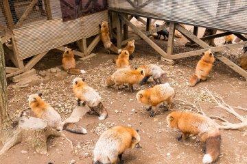 Zao Fox Village